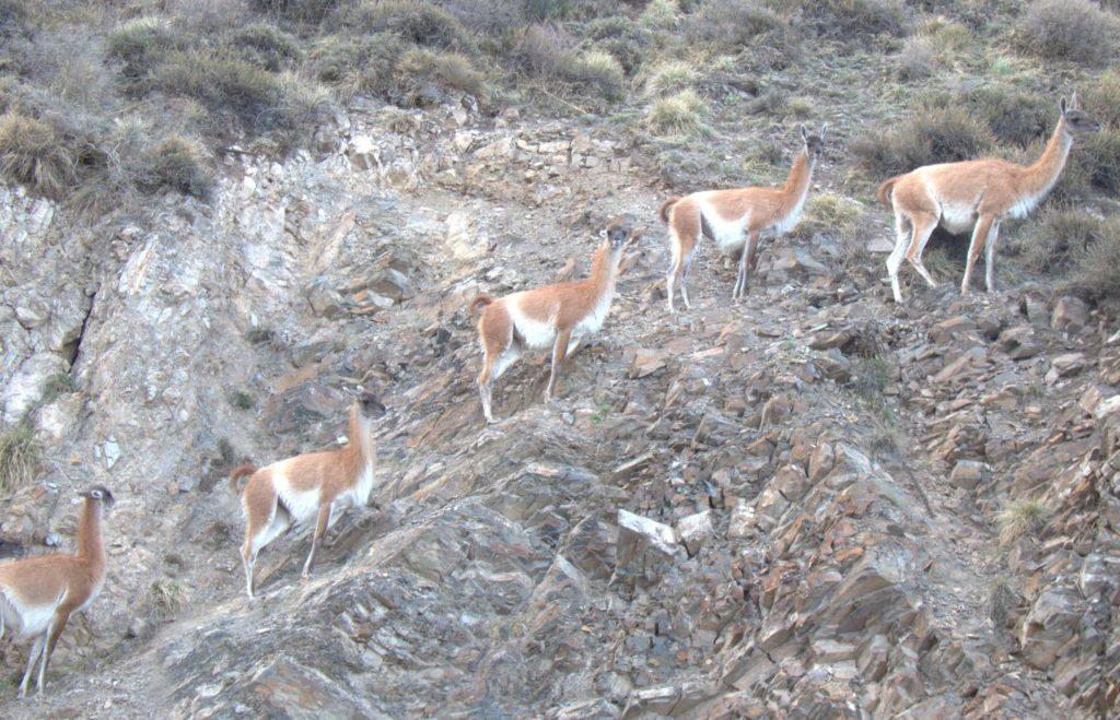 Guanacos in Reserva Villavicencio, Argentina