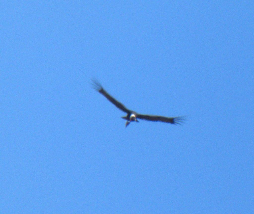 Distant vulture