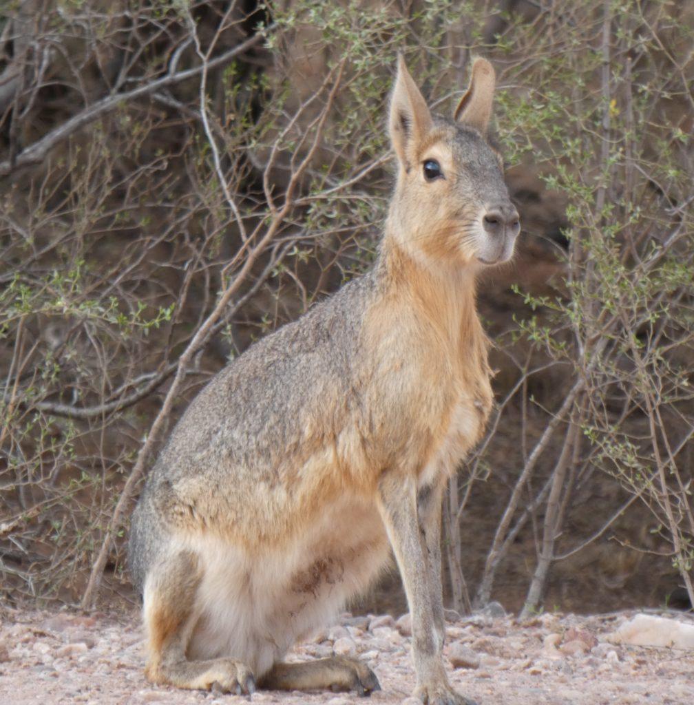 One last mara photo from Sierra de las Quijadas National Park