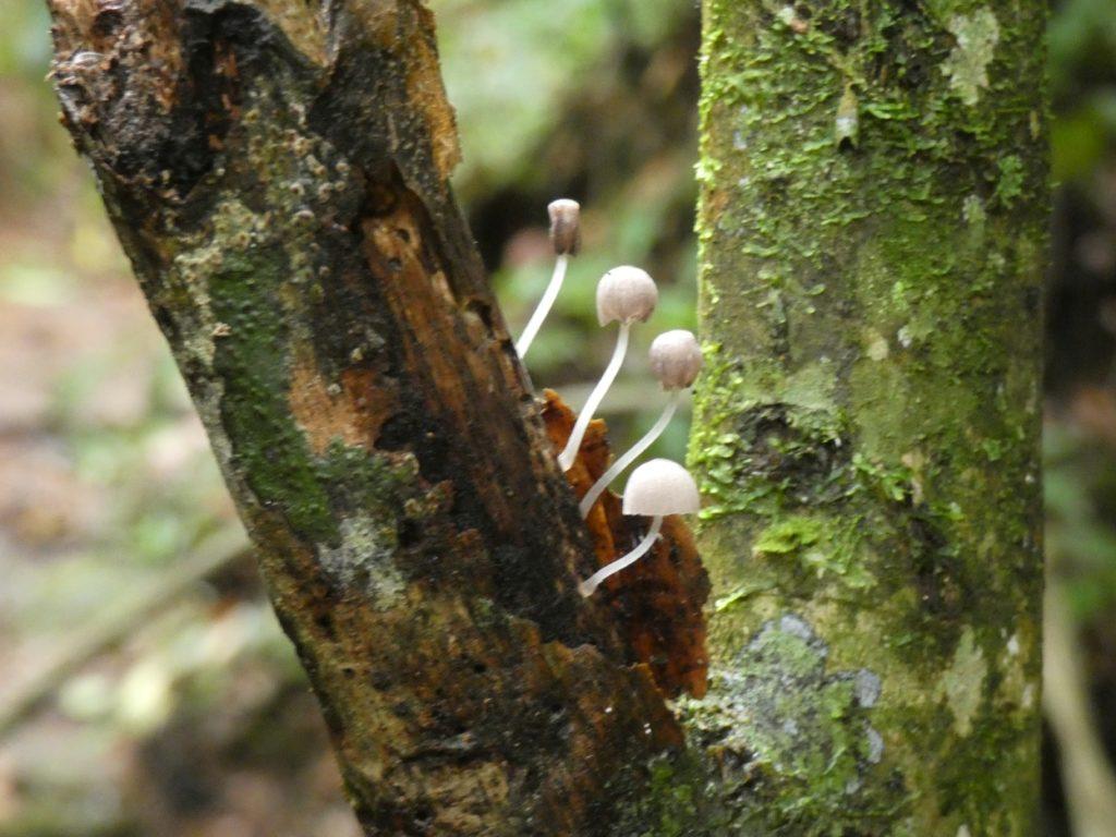 Delicate fungus along trail, Serra dos Orgãos N P